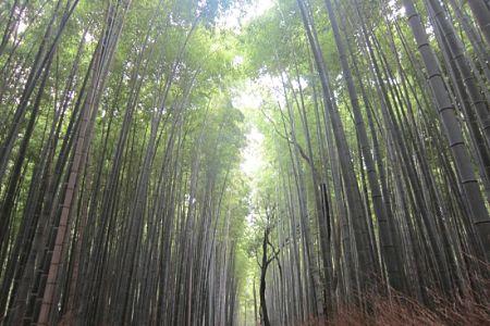 Rừng tre Sagano Nhật Bản
