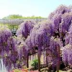 Công viên Ashikaga- Ngắm hoa Fuji của người Nhật