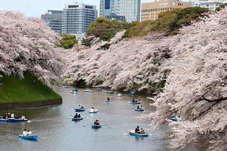 Du lịch Nhật Bản ngắm nhìn hoa anh đào